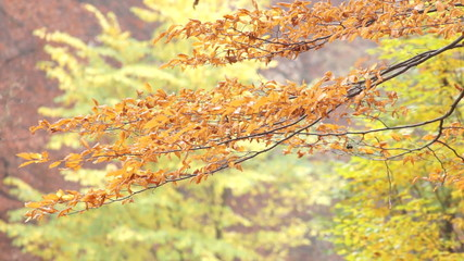 Branches With Autumn Leaves Swaying Gently With The Wind