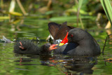 Moorhen and Chick (Gallinula chloropus)