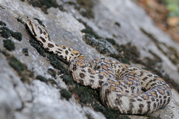 Wagner's viper on rock