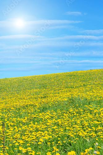 Fototapeten,löwenzahn,wiese,blume,gelb