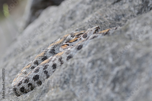 female Wagner's viper on rock