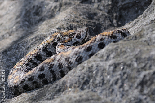 female Vipera wagneri on rock
