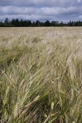 Grain field in Prince Edward Island Canada