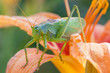 katydid, Green Bush-cricket  (Tettigonia cantans) on a day-lily