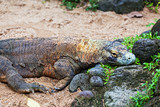 Komodo dragon, Varanus komodoensis, is  biggest living lizard poster
