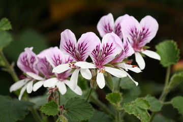 purple and white pelargonium