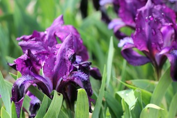 Purple iris flower with leaves and rain drops.