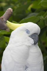 Sulphur Crested Cockatoo Portrait