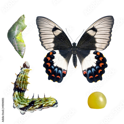 Butterfly, Orchard Swallowtail, Papilio Aegeus, lifecycle stages