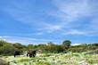 Giara di Gesturi e cavalli bradi, in Sardegna