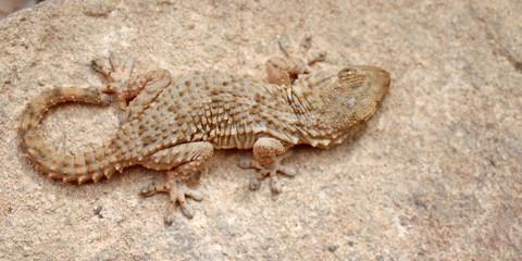 gecko sur la pierre