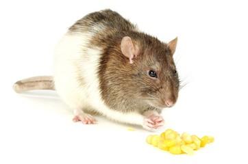 Rat with corn