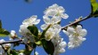 White flowers and green leaves against a blue sky.