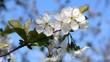 Cherry-tree blossoming.