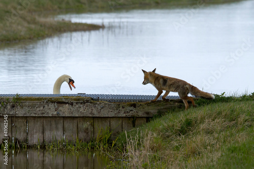 Red fox and a swan