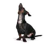 black little dachshund dog on gray background