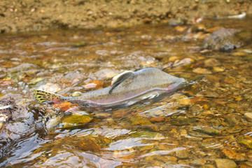 The salmon  on spawning. Commander Islands. Russia