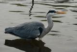 wading grey heron poster