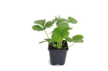young strawberry plant in a black plastic pot isolated on white