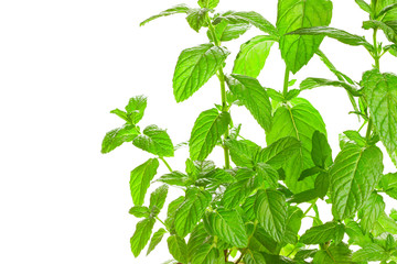 Fresh green Mint (Mentha) isolated on white background.