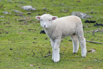 Lost and lonely lamb in paddock