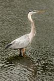 Great Blue Heron (Ardea herodias) wading in water poster