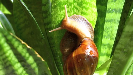 Giant African snail (Achatina fulica) hangs on the plant