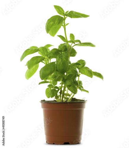 basilic en pot ou en godet