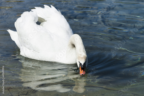 huge white swan swimming in lake at wonderful summer day