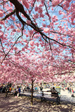 Cherry-trees, Stockholm, Sweden