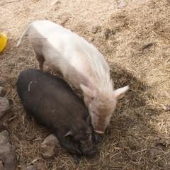 Races de cochon