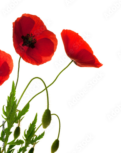 fleurs de coquelicots, poppies over white