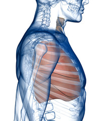 Lungs in the Rib_Cage Side View