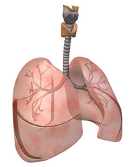 Lungs and Bronchi Three_Quarter View