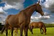 brown sport horses