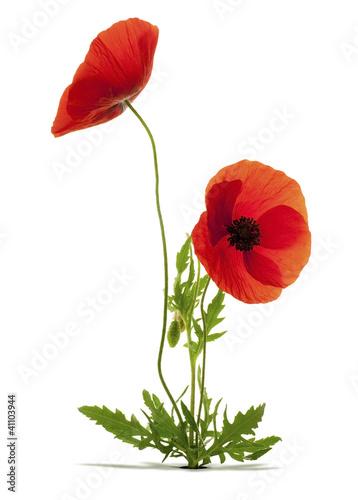 dwa-kwiaty-maku-biale-tlo
