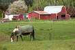 Horse grazing.