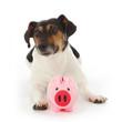 chien jack Russel terrier gardant cochon tirelire