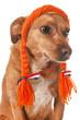 Dutch dog