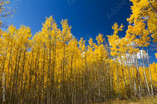 Yellow Aspen Trees Contrast Blue Sky Background