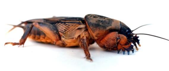 mole cricket (Grillotalpa)