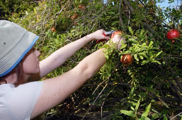Israeli Farmers are Picking up Pomegranates