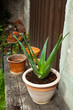 aloe vera plant in the garden