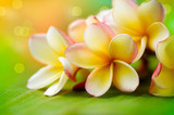 Fototapety Frangipani Tropical Spa Flower. Plumeria. Shallow DOF