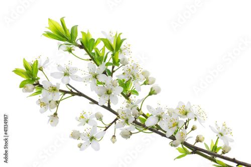 blooming wild plum - 41134987