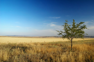 Thin tree in the steppes