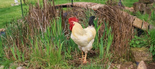 Coq rooster healthy beau, poule poulet