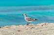 Seagull on the Caribbean beach of Mexico