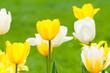 Gelbe und weiße Tulpen