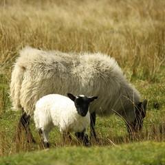 ewe with little lamb